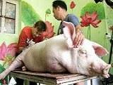 Cerdos tatuados #1