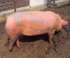 Cerdos tatuados #4