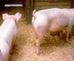 Cerdos tatuados #6